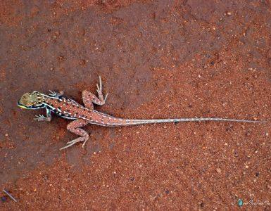 Australia DSC